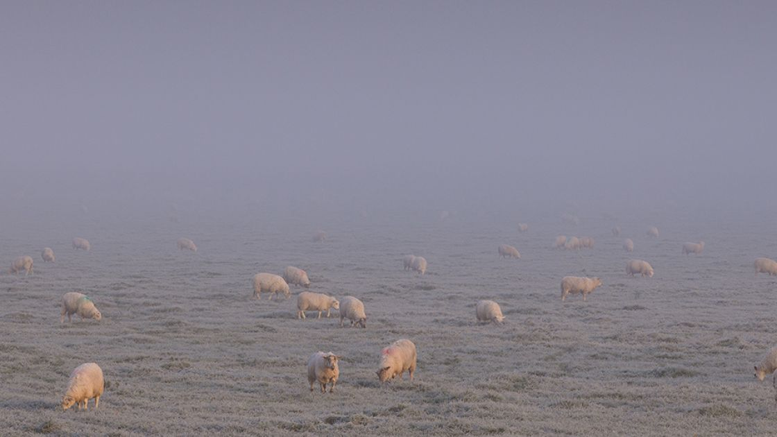 Sheep emerge from the mist on a frosty November morning